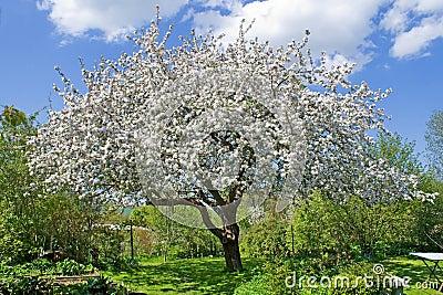 Tree Garden Blossom