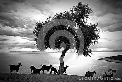 Tree and goats in Thassos Greece