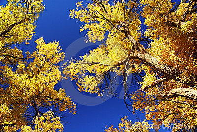 Tree with golden leaves and blue sky