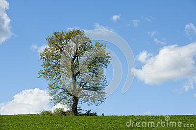 Tree in green field .