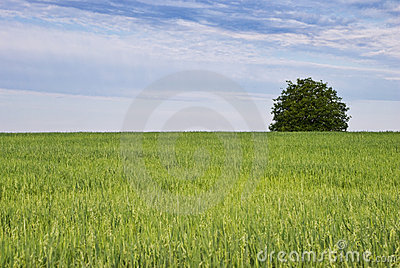 Tree and green field of oats