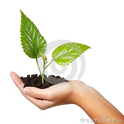 Tree green fresh in female hand isolated