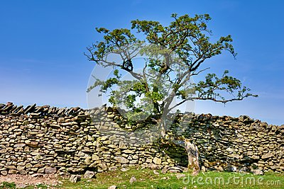 Tree growing on a dry stone wall