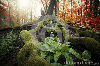 Tree with huge roots covered with green moss and plants in a beautiful forest in autumn