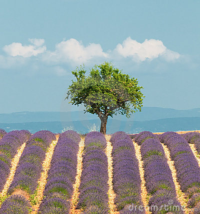 Free Tree In Lavender Field, Provence, France Stock Image - 10632341