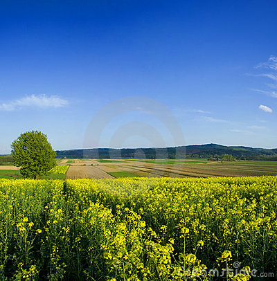 Free Tree In Oilseed Field Stock Images - 4974744