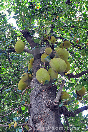 Tree of jackfruits