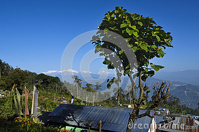 Tree with Kanchenjugha Mountain Range, Sikkim