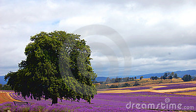tree in a lavender field