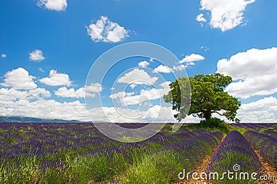 Tree in Lavender fields