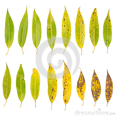 Free Tree Leaves Isolated On White Background Royalty Free Stock Photos - 24801078