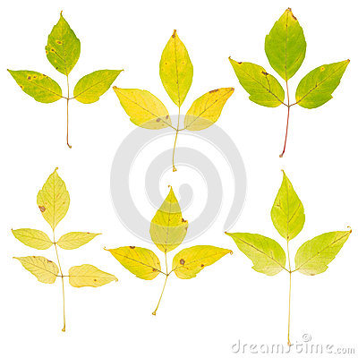 Free Tree Leaves Isolated On White Background Royalty Free Stock Photo - 24801085
