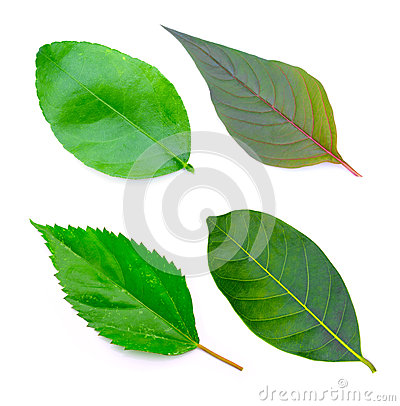Free Tree Leaves Isolated On White Background Royalty Free Stock Image - 48416096