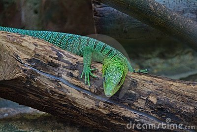 Tree Monitor Lizard