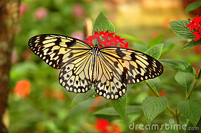 Tree nymph butterfly on a red flower