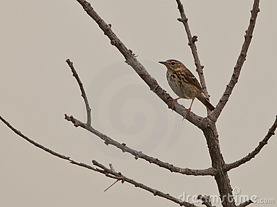 The Tree Pipit