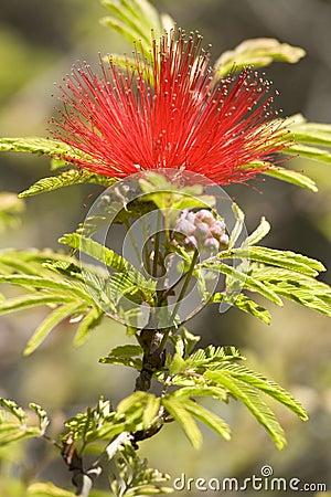 Tree Pohutuakawa flower