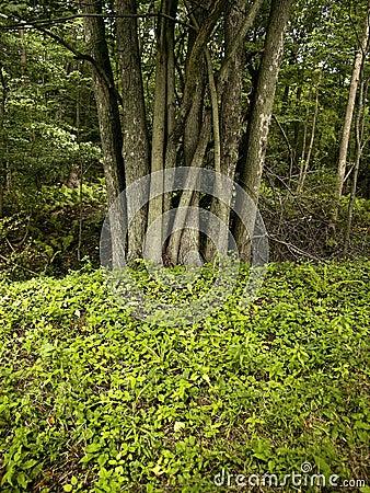 Tree Posse