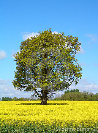 Lone Tree in Yellow Field