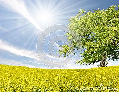 Tree in the rapeseed field