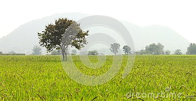 Tree on Rice Farms