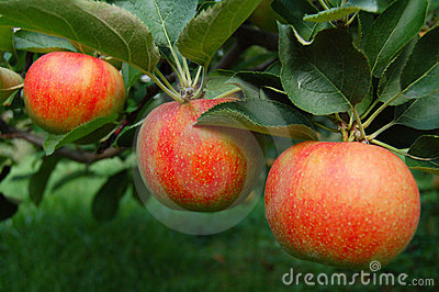 Tree Ripened Apples