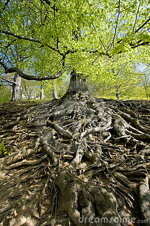 Free Tree Roots Royalty Free Stock Photos - 3986558