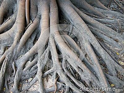 Thailand catch dragon root 7