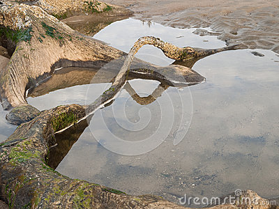 Tree roots exposed on sandy ocean beach