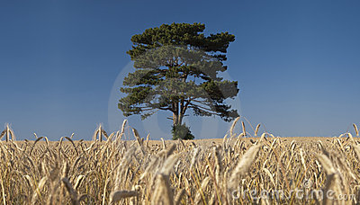 Tree in the rye field