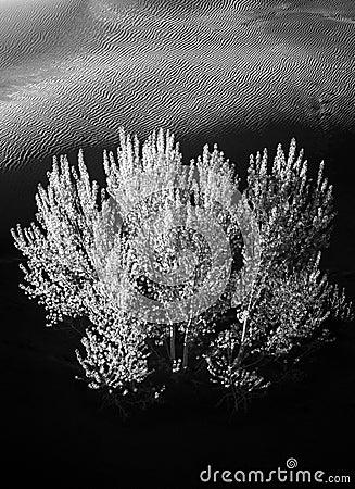 Tree,Sand Dune,Black & White
