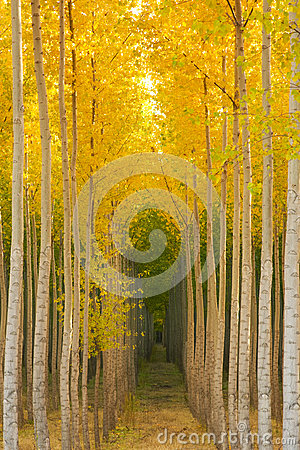 Aspen Tree Grove Yellow Fall Seasonal Autumn Color