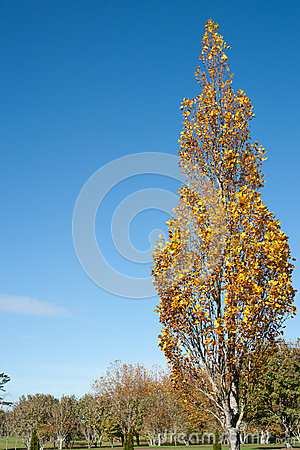 Tree showing autumn golden colour