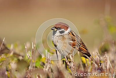 Tree Sparrow In Sun Bath