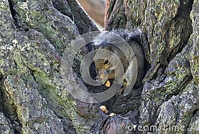 Tree Squirrel eating peanuts