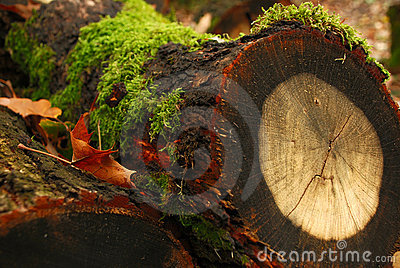 Tree stump with annual