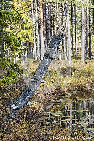Tree Stump with bracket fungi