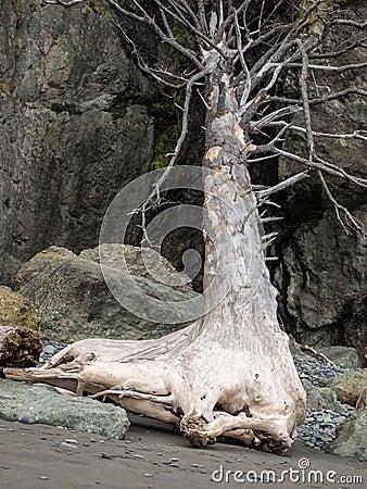 Free Tree Stump On Ocean Beach Stock Photos - 56540813