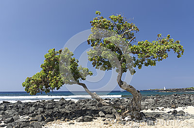 Tree on a sunny beach, Big Island, Hawaii