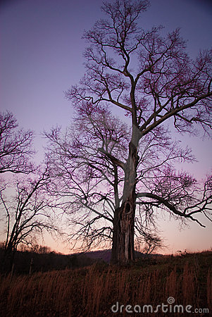 Tree at Sunset With Purple Sky