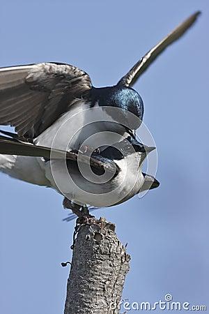 Tree Swallow(iridoprone bicolor)