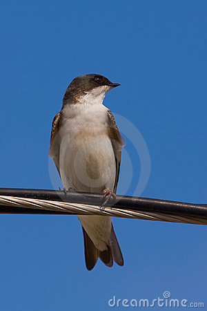 A Tree Swallow on a Wire