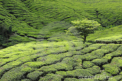 Tree at Tea Plantation
