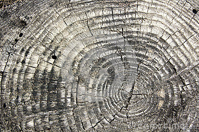 Tree texture with rings