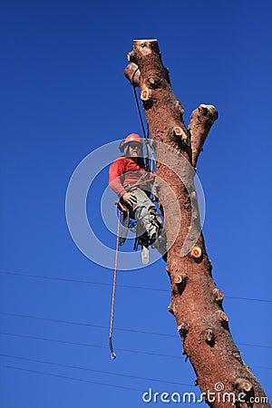 Tree trimmer hanging on pine tree