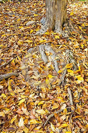 Tree trunk and roots covered with autumn leaves