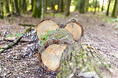 Tree trunk sawed