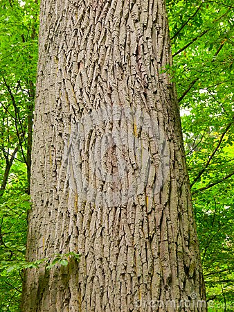 Free Tree Trunk With Rough Bark Royalty Free Stock Photography - 44603127