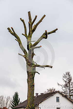 Free Tree Trunk With Sawed-off Branches Royalty Free Stock Photos - 53549898