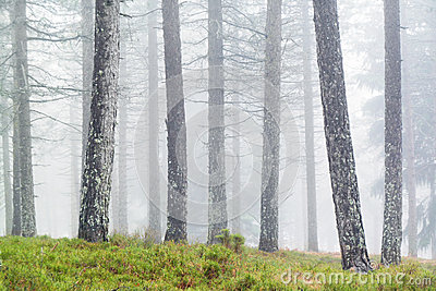Tree trunks with fog